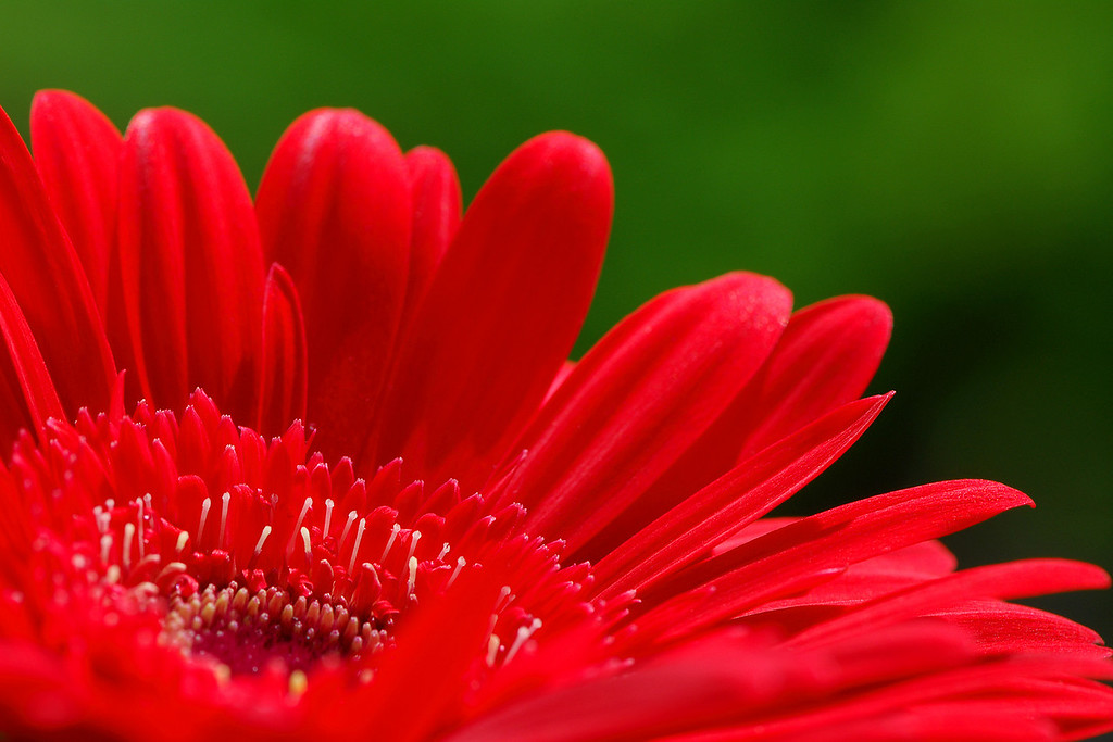 Red Gerber Daisy Enjoy! ©2007 Daniel P Woods