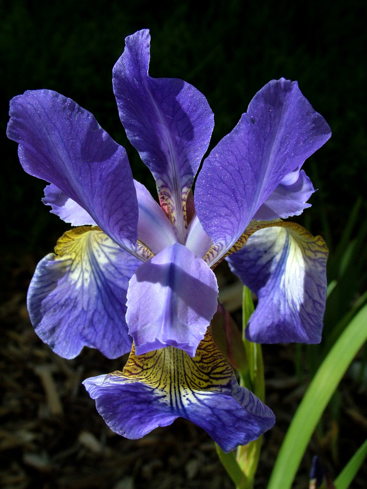 This is a collection of Iris Photo's. My wife is an Iris lover so I have tried to master photographing this very complex flower.