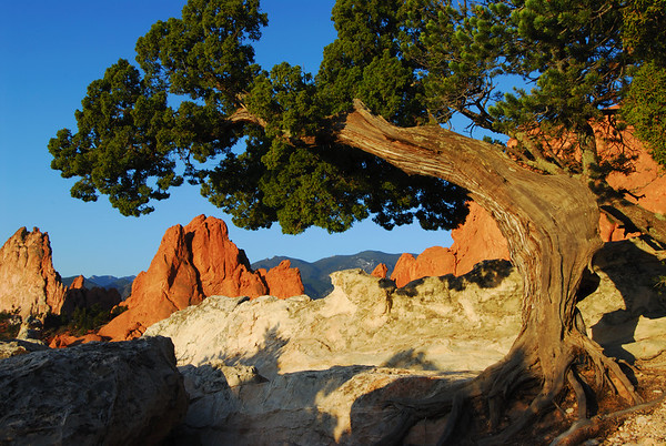 Garden of the Gods Colorado Landscape.  Living up to 900 years in age Juniper and pinon trees exhibit their tenacity as they cling to the rock formations through the centuries of wind and weather.   Daniel P Woods.