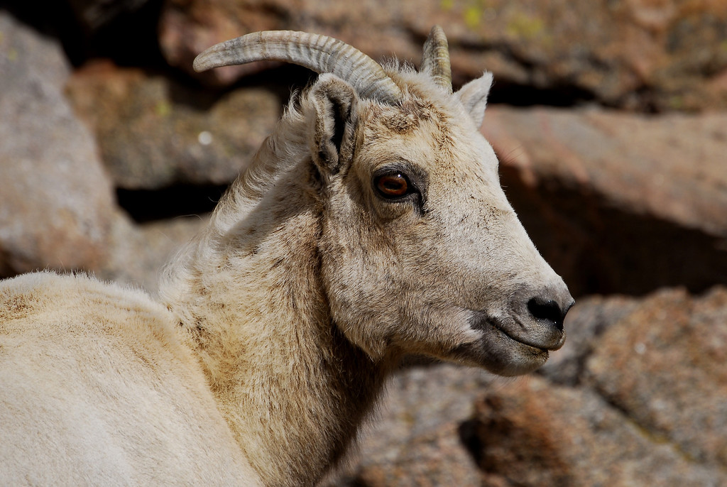 Mt. Evans, Colorado Bighorn sheep.   Photography By ©2006 Daniel P Woods