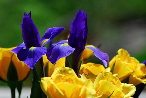 This is a collection of Iris Photo's. My wife is an Iris lover so I have tried to master photographing this very complex flower.    There are some wonderful Iris  photos in this Gallery. By Daniel P Woods
